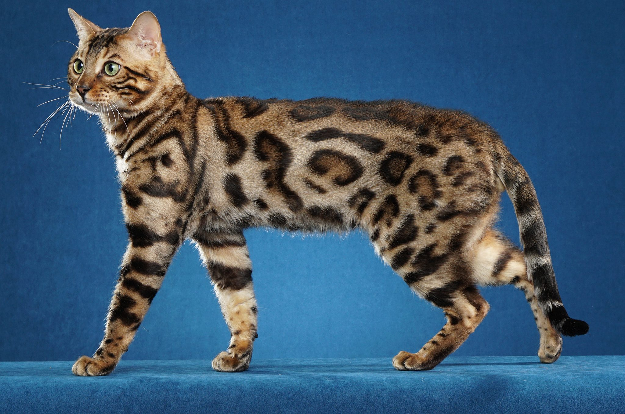 AspenGold Bengals - Top Licensed Bengal Breeder of Colorado